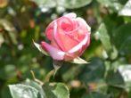 8 непоправимых ошибок осенью, которые способны загубить ваши розы