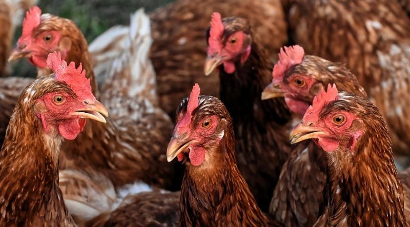 Чем и как кормить кур, чтобы не успевать собирать яйца