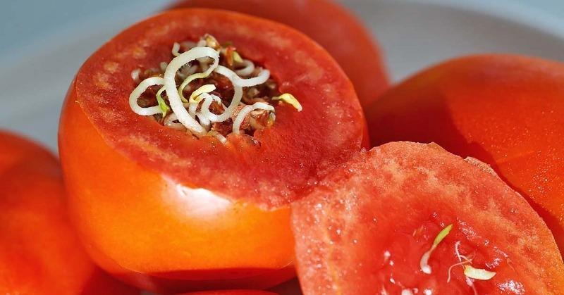 Почему семена прорастают прямо внутри томатов