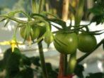 5 простых способов дозаривания томатов дома