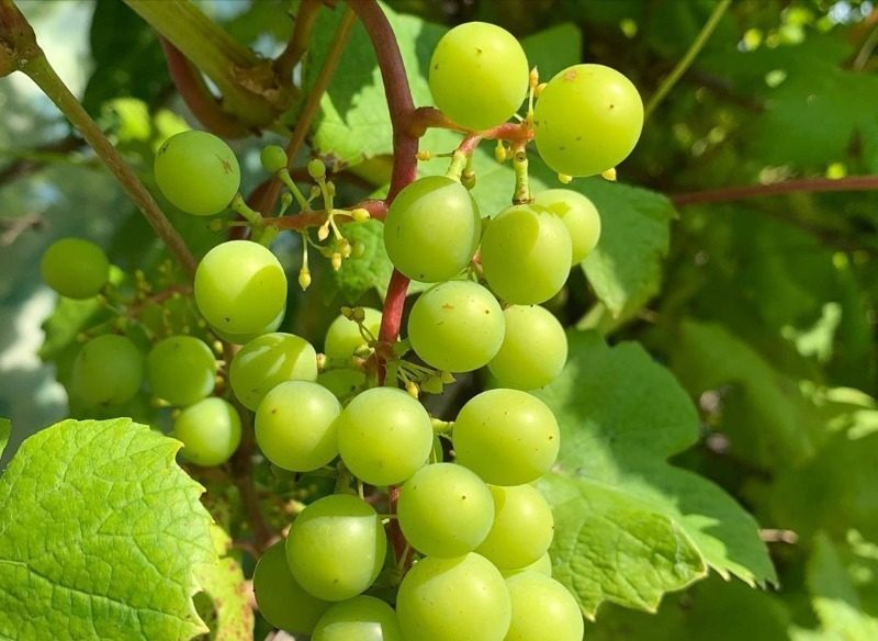 9 морозостойких сортов винограда, которые хорошо приживутся осенью