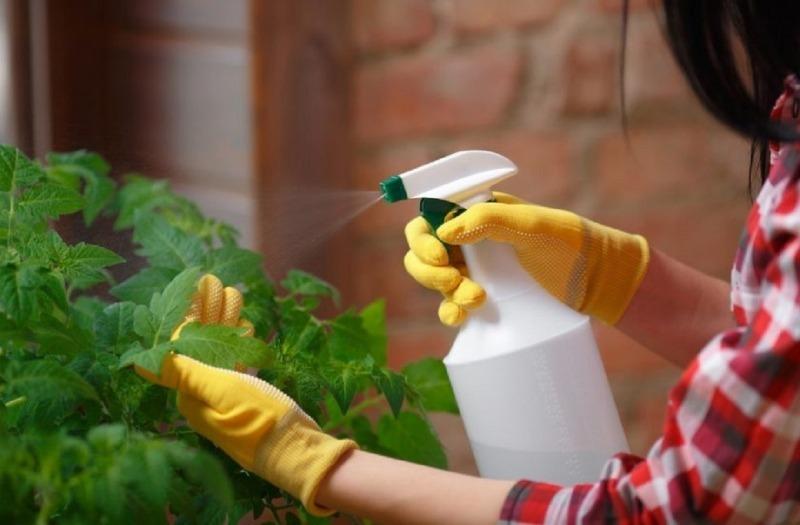 От молока до уксуса: чем опрыскать томаты, чтобы изгнать фитофтору