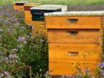 От пчелы до шершня: чем опасен укус, как оказать первую помощь