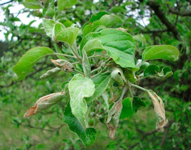 Скручиваются листья на яблоне или груше: 7 причин и способы борьбы