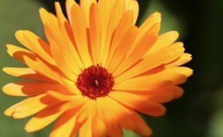 5 полезных растений, которые еще успеете собрать и засушить