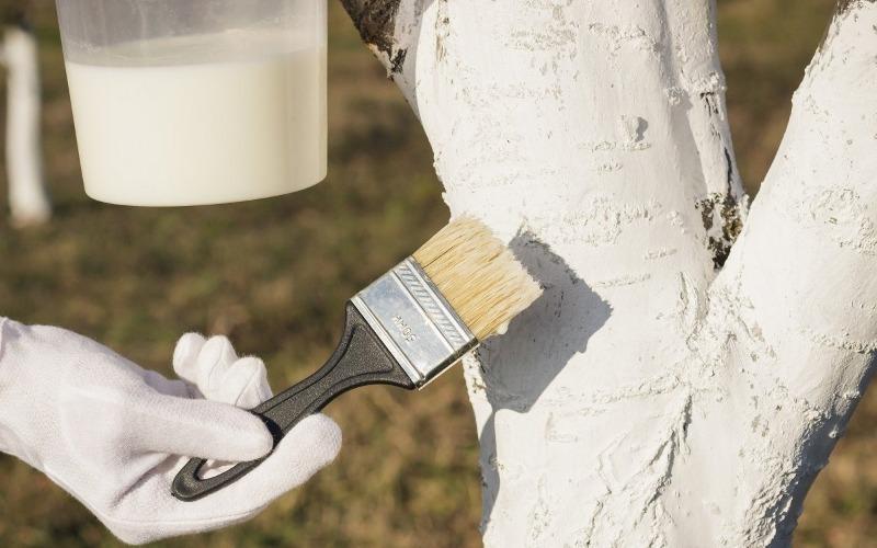 Побелка деревьев осенью: когда и чем обработать кору