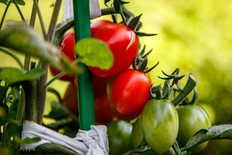 В октябре закапываю помидоры в грунт и жду урожая: как вырастить томаты из целого плода без рассады