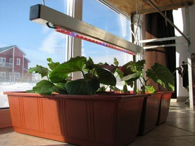 Что подготовить в октябре, чтобы вырастить огурцы на подоконнике зимой