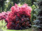 Добавим красок в саду: 7 растений с яркой листвой красного и фиолетового оттенка