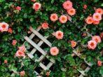 Заготавливаю черенки для живой изгороди — хранятся до весны и быстро трогаются в рост