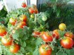 Какой сорт томатов даст урожай к Новому году
