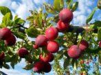 Слива Скороспелка красная: описание и характеристика сорта, достоинства и недостатки, особенности посадки и ухода