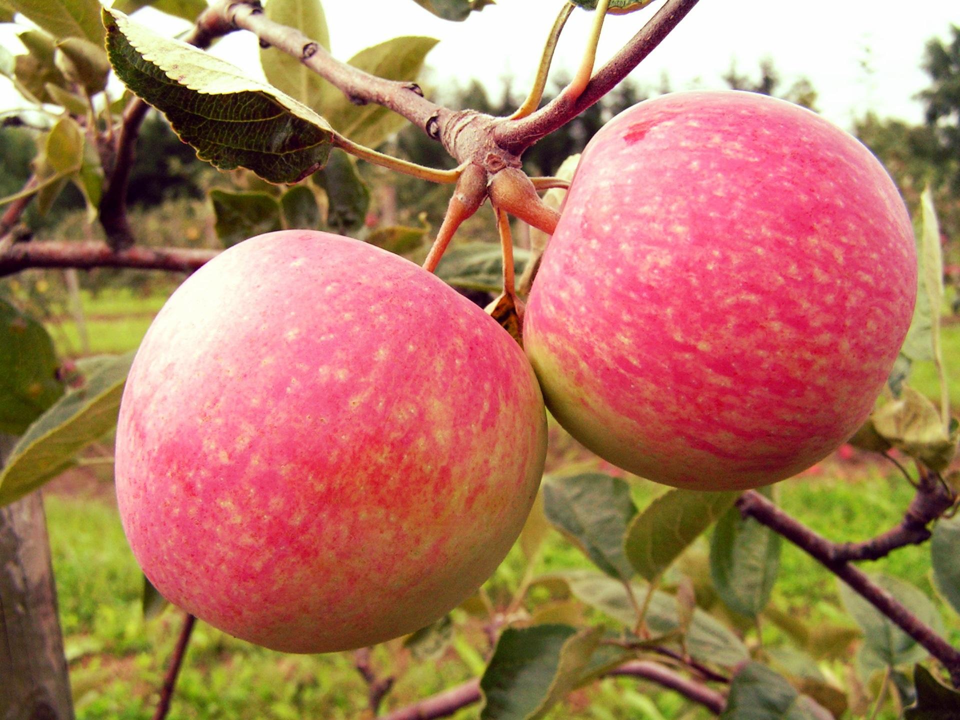 Карликовая яблоня «Приземлённое»: описание и характеристика сорта, достоинства и недостатки, особенности посадки и ухода