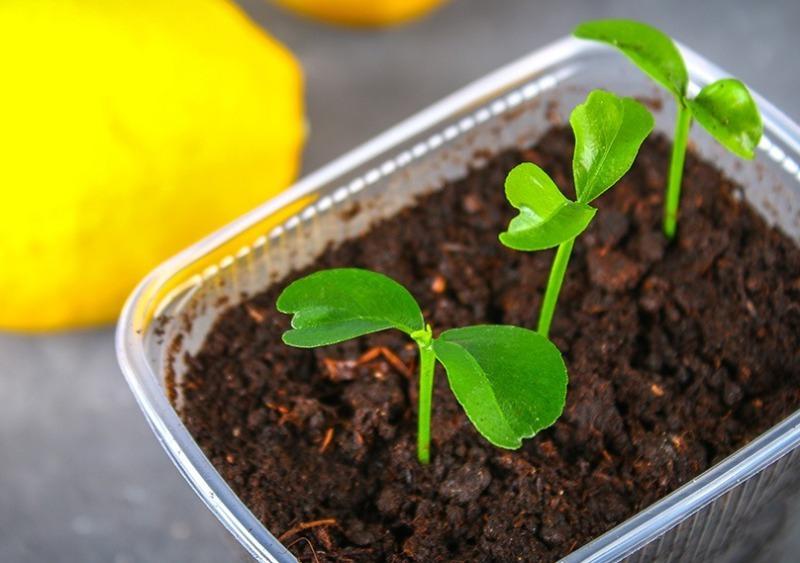Чем полезна микрозелень из косточек лимона женщине 45 лет