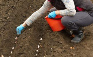 Как определить срок посадки чеснока по температуре почвы