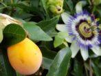 Пассифлора (страстоцвет): все нюансы ухода за цветком в домашних условиях, правила размножения
