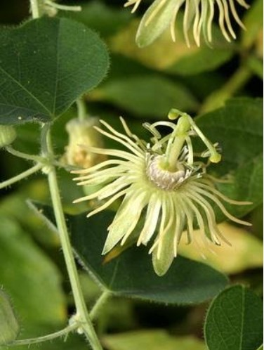 Пассифлора лимонно-желтая