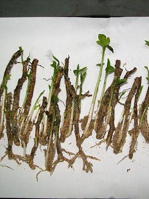 После появления корней черенки высаживают в грунт