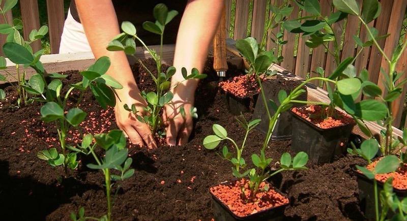 Дачная экзотика: как я выращиваю имбирь и арахис