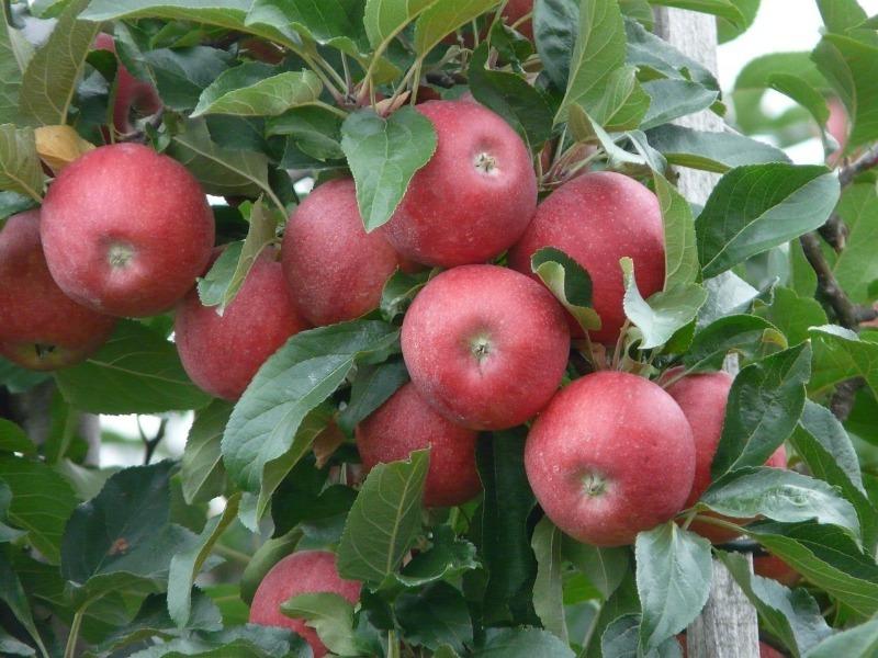 Какой зимостойкий сорт яблонь лучше — Ранетки или Алые Паруса
