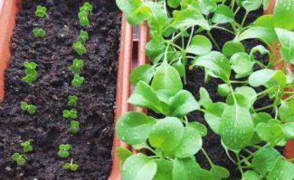 Как выращивать рукколу, мяту и базилик на подоконнике зимой