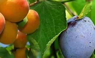 Прививка абрикоса на сливу