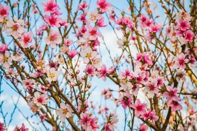 Как цветет персик, где растет, сроки цветения, описание цветка