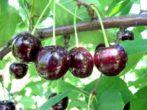 Черешня «Мелитопольская черная»: описание сорта, виды