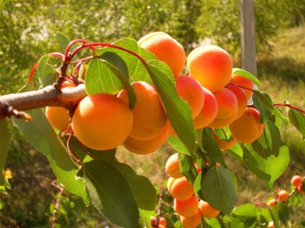 Результат прививки абрикоса на сливу