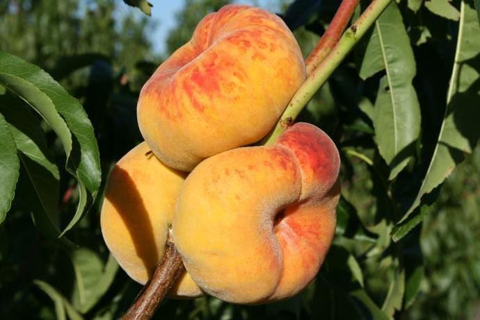 Колоновидные персики и нектарины: стоит ли покупать, как проверить сорт, фото дерева и отзывы