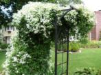 Клематис жгучий мелкоцветковый белый — описание вида, группа обрезки, нюансы посадки и ухода
