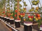 Японский метод выращивания томатов: основные правила