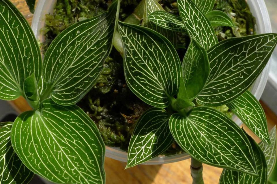 Драгоценные орхидеи: виды, особенности ухода в домашних условиях