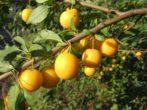 Посадка сливы осенью — когда и как посадить, дальнейший уход