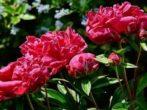 Посадка пионов осенью — когда и как посадить в открытый грунт
