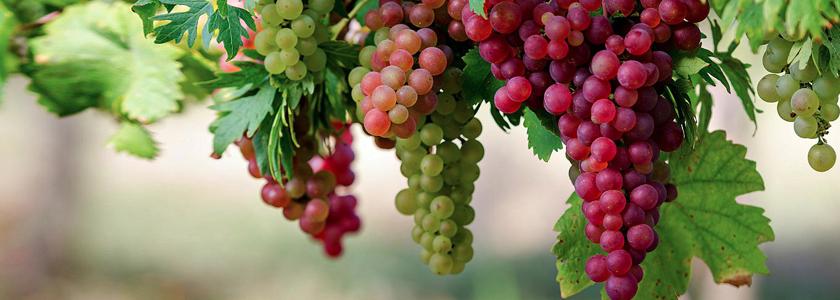 Размножение винограда черенками осенью — основные правила