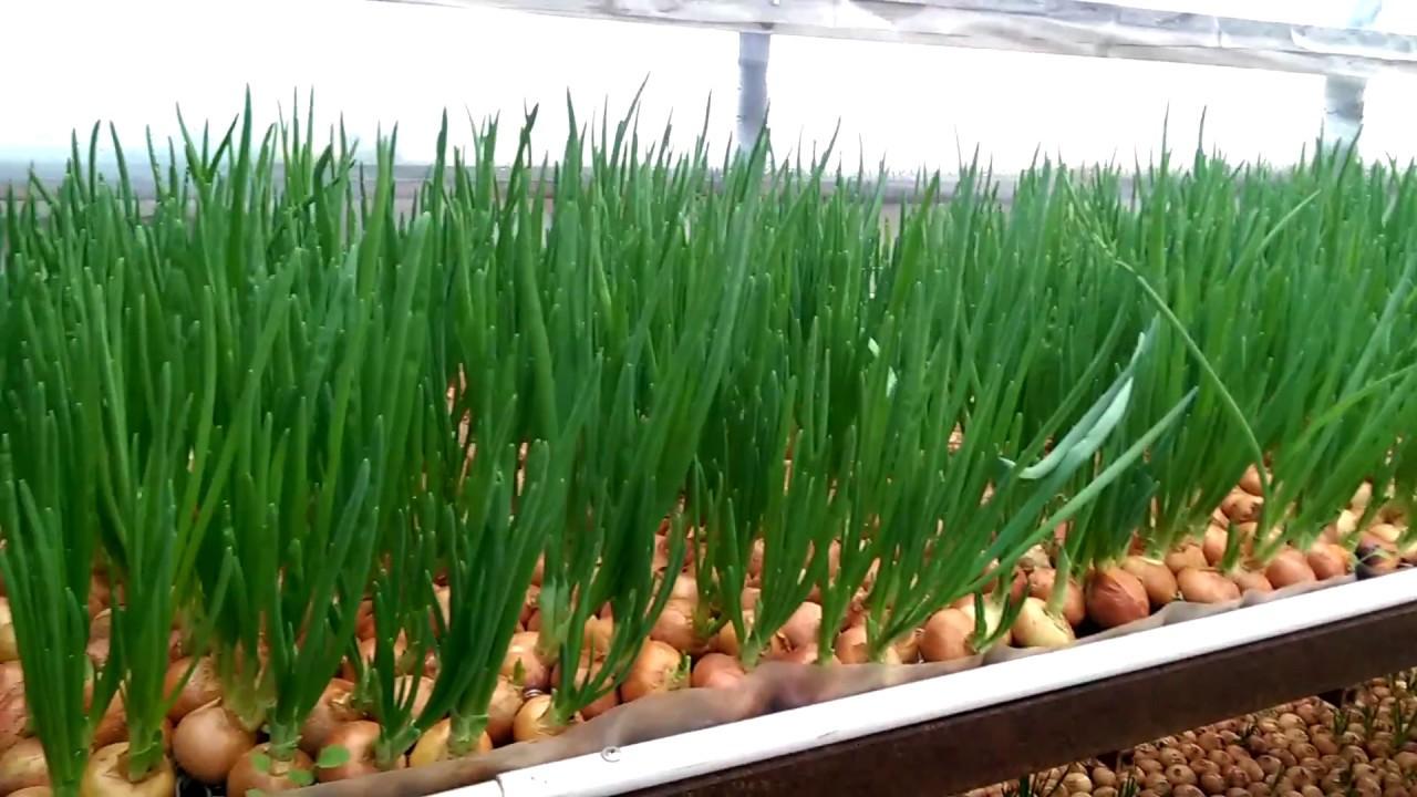 Преимущества выращивания озимого лука