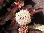 Пузыреплодник — описание кустарника, фото в ландшафтном дизайне, уход