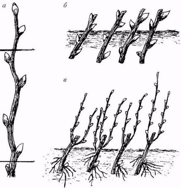 Размножение пузыреплодника черенкованием