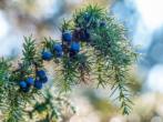 Можжевельник обыкновенный — описание вида, лучшие сорта с фото