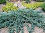 Можжевельник Блю Карпет чешуйчатый — фото и описание, посадка, уход, применение в ландшафте