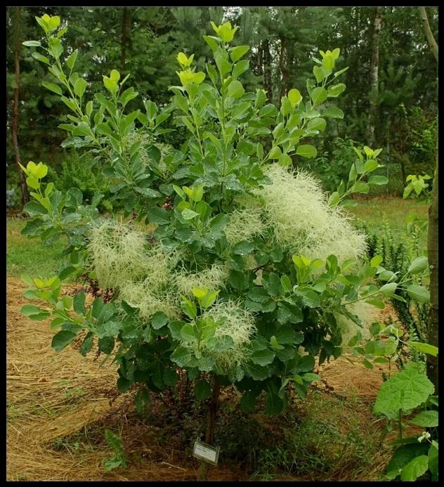 Внешний вид растения и цветков