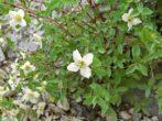 Чубушник (садовый жасмин) — посадка, уход, размножение кустарника, фото и описание видов и сортов