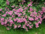 Спирея японская Литл Принцесс — фото и описание, посадка и уход, применение в ландшафтном дизайне