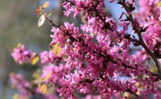 Церцис (багрянник) — фото, описание видов (канадского, европейского и других), посадка дерева и уход