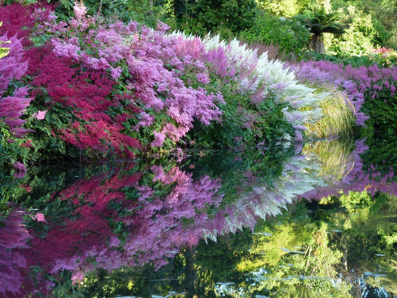 Астильба в ландшафтном дизайне — фото цветов на клумбе, идеи сочетания растений в миксбордере