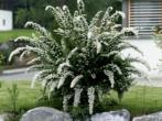 Спирея серая — фото и описание, посадка и уход, применение в ландшафтном дизайне