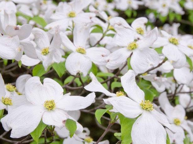 Дерен цветущий (Cornus Florida)