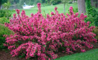 Уход за вейгелой осенью, подготовка растения к зиме — осенняя посадка, обрезка, укрытие