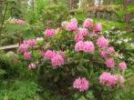 Уход за рододендроном осенью и подготовка к зиме — обрезка, укрытие и прочие работы